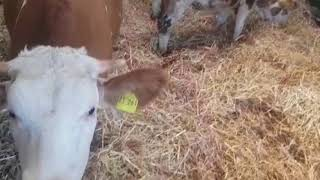Glückliche Rinder ❤️