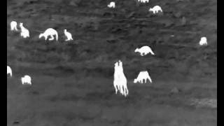 Kangaroo boxing! Filmed with a Guide IR 518-C thermal monocular
