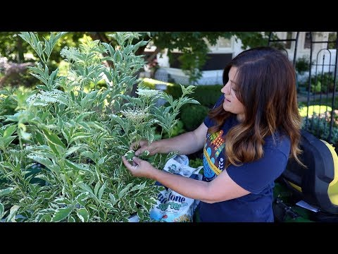 Planting Elderberries in My Garden! 🌿😊// Garden Answer