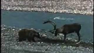Медведица и олень.avi