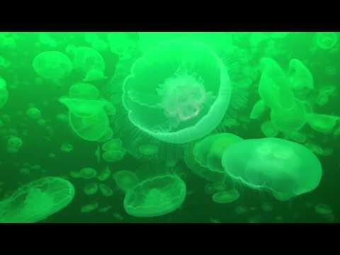 Die Quallen von Alaska, Patterson Bay,Hoonah Sound,Alaska,USA