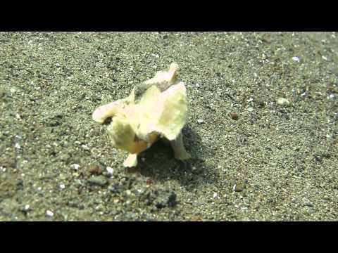 Anglerfische , Sogod Bay,Philippinen