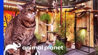 The Purr-fect Kitty Paradise For An Adventurous Savannah Cat | Animal Cribs