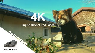 【Animal FPV】4K Impish Side of Red Panda 興味津々レッサーパンダ 【アニマルFPV】