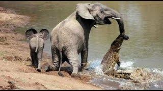 ✔ 大象被鱷魚咬住鼻子,小象震撼人心的行為,感動千萬人! ✔ 宠物屋