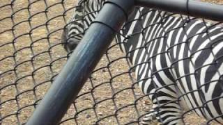 Zebra Pee