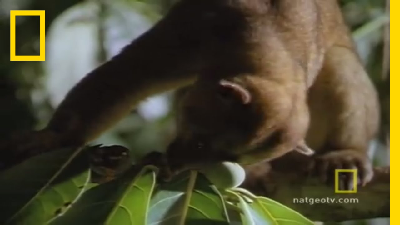 Cute and Cuddly Kinkajous | National Geographic thumbnail