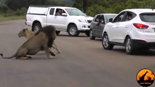 Lion Shows Tourists Why You Must Stay Inside Your Car Latest Wildlife Sightings JRSYMfC2PFU