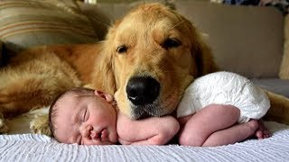 Golden Retriever and Babies  Compilation
