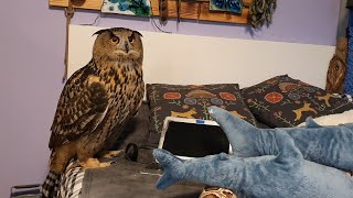 Yoll the eagle-owl and a laptop. Stupid owl running around