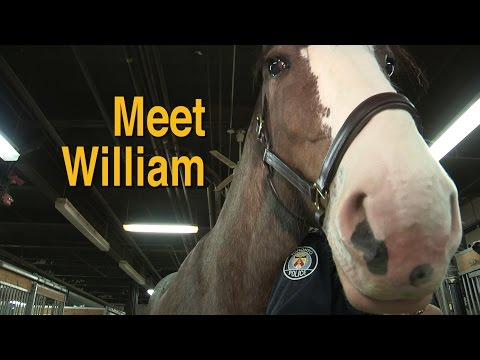 Meet William Our Newest @TorontoPolice Horse