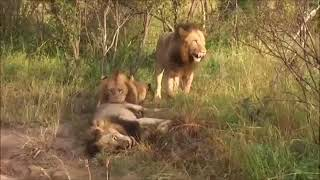Wild Animals |  Dying Lion After The Battle | Brutal Fight