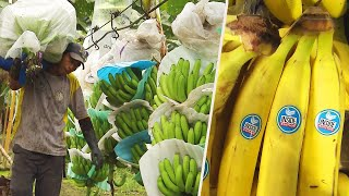 How Do Bananas Grow and End Up in the Store?