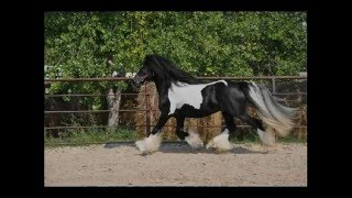 Gypsy Vanner For Sale Dagonet