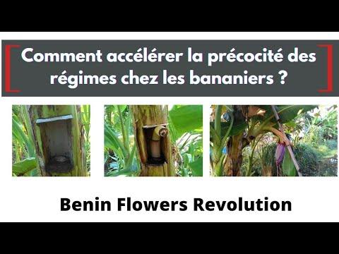 Comment accélérer la précocité des régimes chez les bananiers? Comment accélérer la précocité des régimes chez les bananiers?