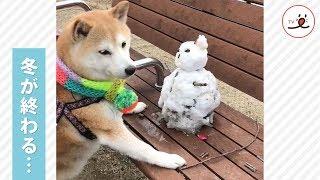溶けないで…😢 雪だるまを必死に守る柴犬ちゃんの姿にキュン☺️💕【PECO TV】 | Kholo.pk