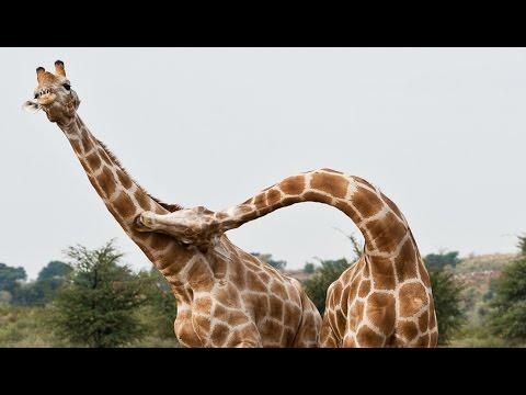Duel épique de girafes du désert !