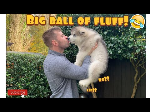 Alaskan Malamute Puppy Grows How Fast??!! Weighing Our 10 Week Old Puppy