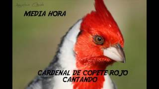 Descargar CD De Cardenal Copete Rojo Cantando Media Hora
