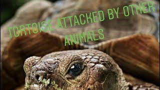 Tortoise attacked by other animals