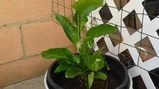 Growing Passion Fruit From Seeds