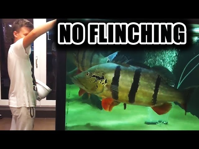 NO FLINCHING! Predator fish edition!