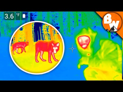 CRAZY! Coyote Catches THERMAL WOLVES!