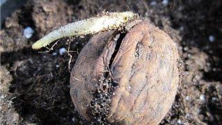 Как посадить грецкий орех из плода