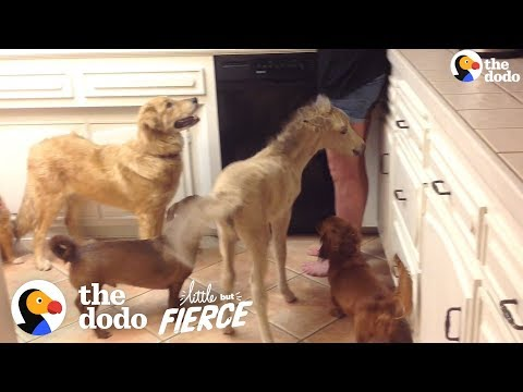 Mini-Horse Grows Up With Dogs
