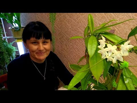 Зацвела хойя Griffithii Big white Flowers