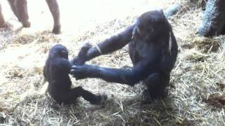Baby gorilla and mum play fighting
