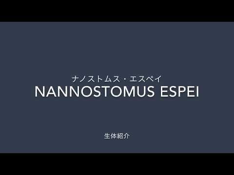 【ナノストムス・エスペイ】 Nannostomus espei