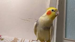 Sultan papağanı konuşması