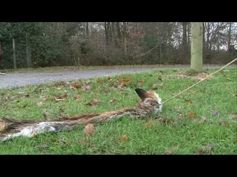 How to train an eagle to hunt foxes