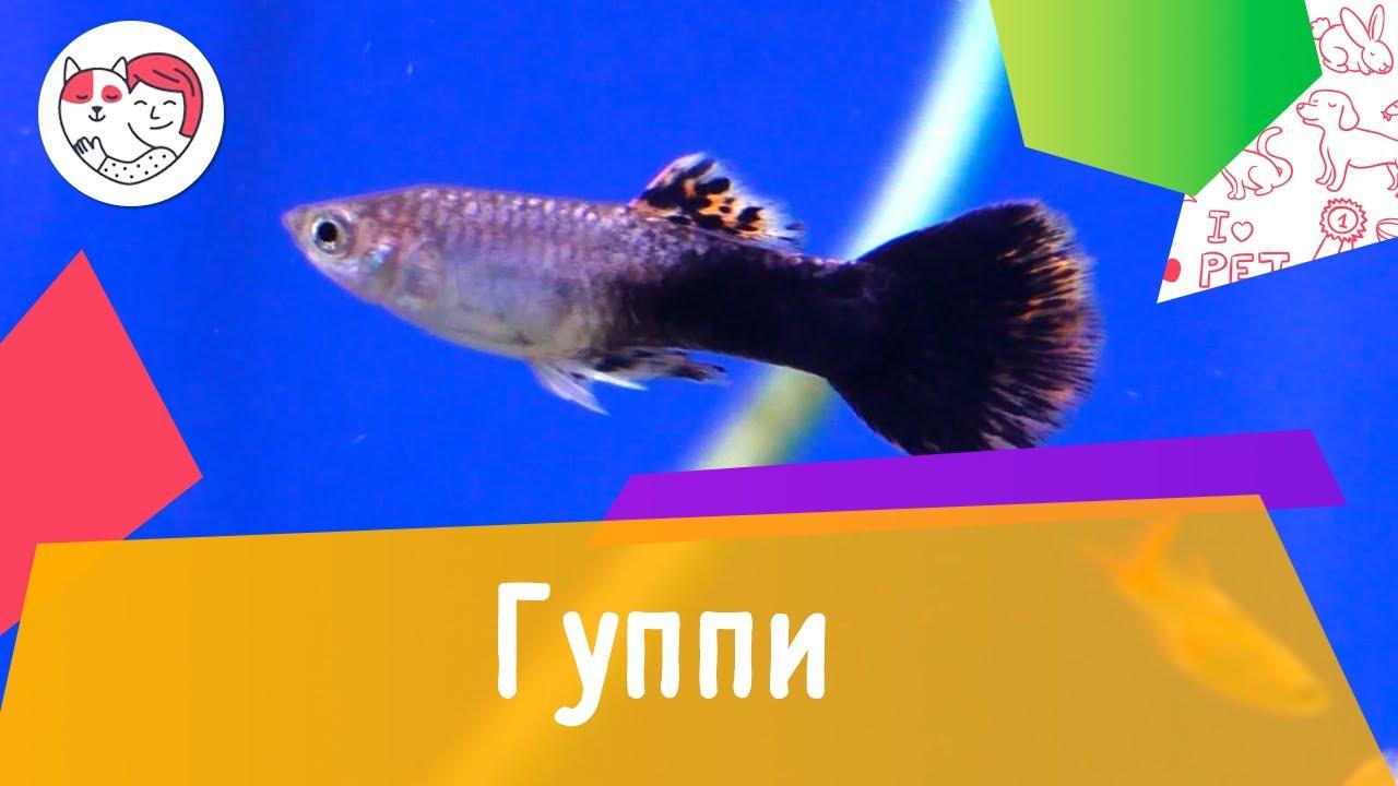 Аквариумная рыбка гуппи. Особенности. Уход.