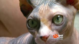 WATCH:  Ever See A Naked Cat?  The Sphynx Is Unique.