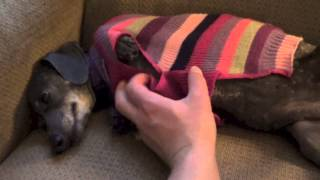 Midwest Dachshund Rescue (MWDR) - Foster Skye Oct. 2014