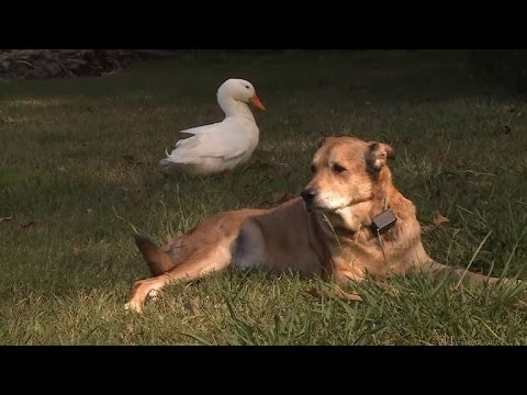 How This Duck Helped A Dog Emerge From 2-Year Depression After Friend Died