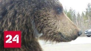 Медвежья активность в Коми: косолапые на людей не охотятся, но это временно - Россия 24