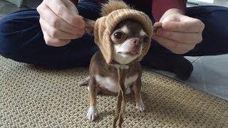 Чихуахуа и шапка. Может ли маленькая собака носить шапку?