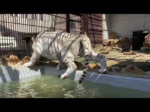 【池田動物園公式】サンちゃんの入水の様子