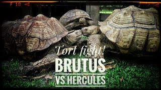 Moving Hercules the GIANT Sulcata