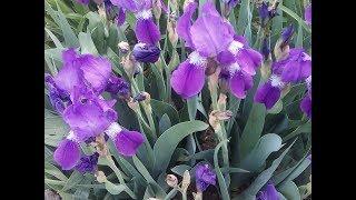 Какие у меня дома весенние цветы.