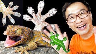 Secret of the Gecko Feet REVEALED!!!
