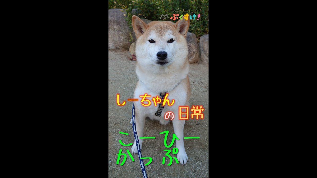 柴犬しーちゃんの日常/こーひーかっぷ