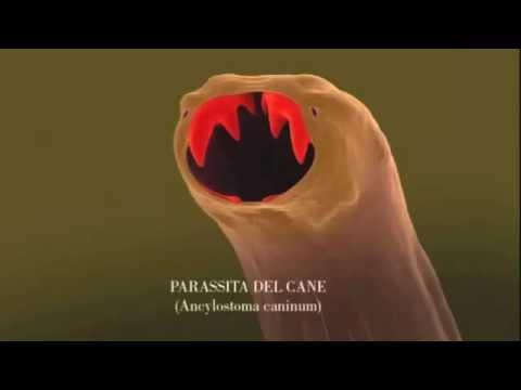 Parassiti in falenopsis