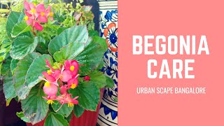 How to grow and care for the Begonia