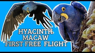 4 month old Hyacinth Macaw ROXY free-flying for the very first time outdoors