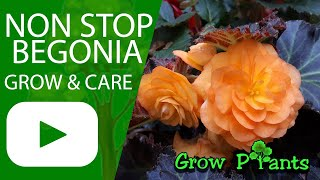 Non stop begonia - grow & care (Great also as Houseplant)