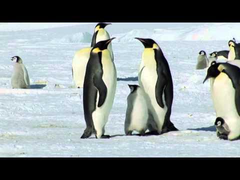 הפינגווין הקיסרי ומרחבי הקרח